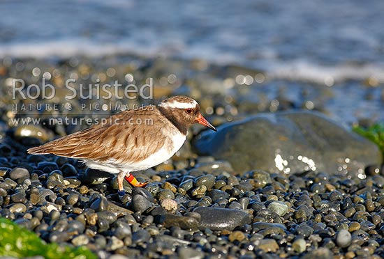 New Zealand Shore Plover (Thinornis novaeseelandiae) female, endangered native shorebird. Tuturuatu, Mana Island, New Zealand (NZ) stock photo.