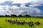 Dairy cows on lush pastures