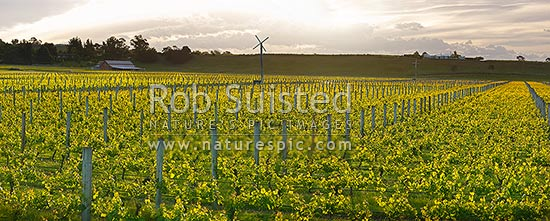 Vineyards and grapevines in evening light. Frost protection windmill centre. Panorama, Hawke's Bay, Hastings District, Hawke's Bay Region, New Zealand (NZ) stock photo.
