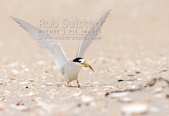 New Zealand Fairy tern with small fish in beak and wings raised (Sterna nereis davisae), NZ's rarest bird, also known as tara-iti, Waipu, Whangarei District, Northland Region, New Zealand (NZ) stock photo.