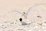 Rare New Zealand Fairy Terns