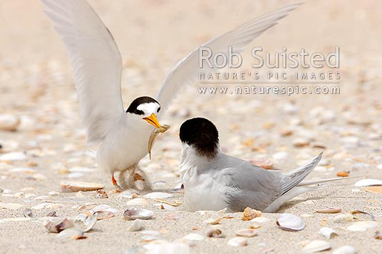 New Zealand Fairy terns, male returning to nest to feed a fish to female incubating eggs on beach (Sterna nereis davisae), NZ's rarest bird, also known as tara-iti, Waipu, Whangarei District, Northland Region, New Zealand (NZ) stock photo.