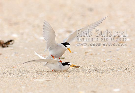 New Zealand Fairy tern mating / copulation sequence (7/8). Enticing with fish treat. (Sterna nereis davisae), NZ's rarest bird, also known as tara-iti, Waipu, Whangarei District, Northland Region, New Zealand (NZ) stock photo.
