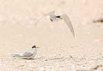 New Zealand Fairy Terns