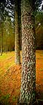 Pine forest plantation vertical pano