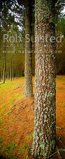 Pine tree plantation timber production forest (Pinus radiata) with tree trunk and bark texture. Vertical panorama, Taupo District, Waikato Region, New Zealand (NZ) stock photo.