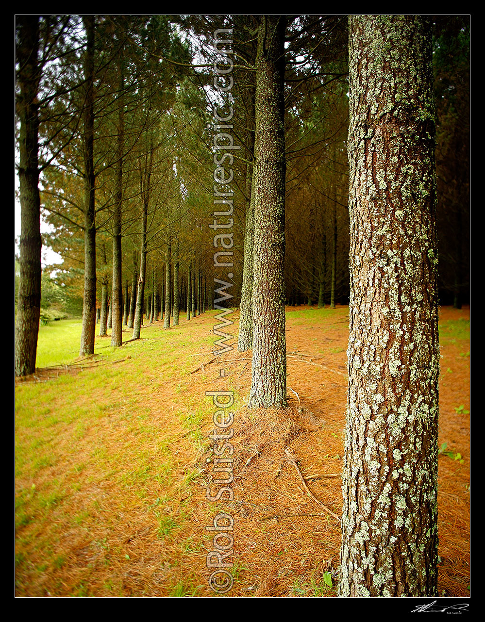 Pine tree plantation timber production forest pinus for Pine tree timber