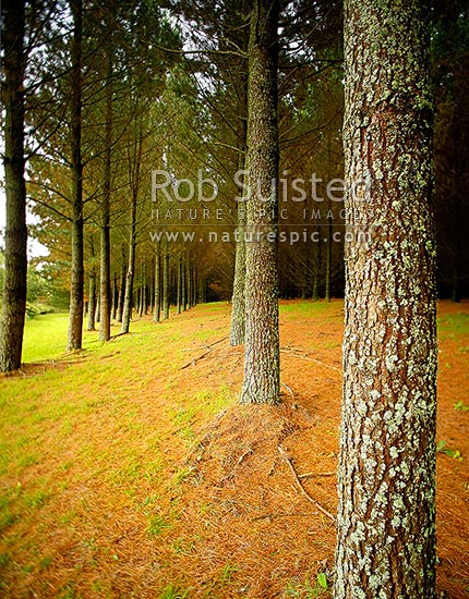Pine tree plantation timber production forest (Pinus radiata) with tree trunk and bark texture. Square format, Taupo District, Waikato Region, New Zealand (NZ) stock photo.