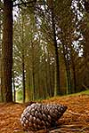 Pine cone in plantation forest