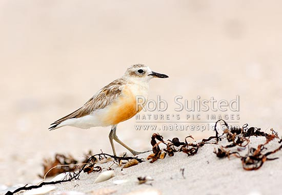 New Zealand dotterel shore bird (Charadrius obscurus). Known also as tuturiwhatu, New Zealand Plover, Red-breasted Plover. Native threatened Category B species, Waipu, Whangarei District, Northland Region, New Zealand (NZ) stock photo.