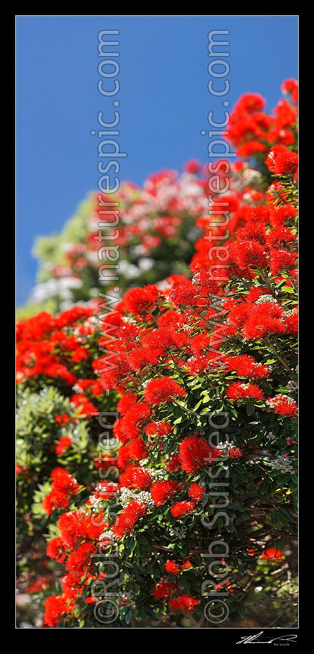 Pohutukawa tree flowers Metrosideros