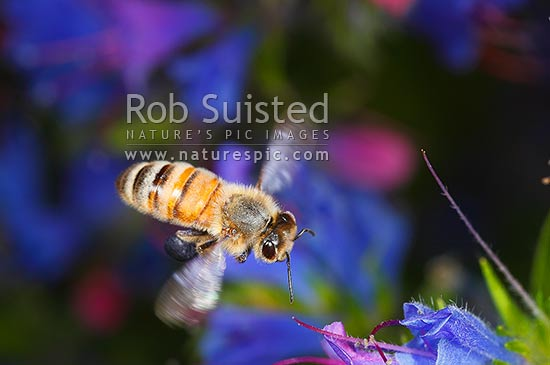 European Honey Bee (Apis mellifera) visiting and collecting nectar and pollen from Blue Borage flowers (Vipers Bugloss, Echium vulgare), New Zealand (NZ) stock photo.