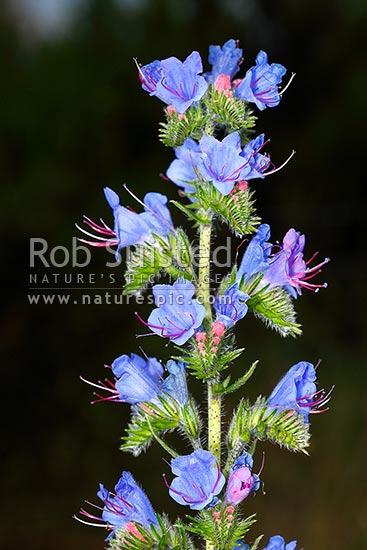 Blue Borage Flowers Echium Vulgare Boraginaceae Viper S Bugloss Weed Herb Or Gr Snake Flower Thistle Devil New Zealand