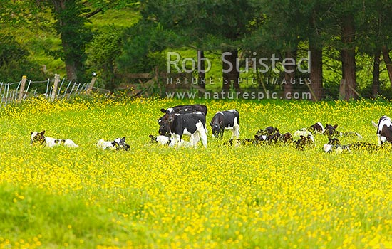 Dairy cattle calves in paddock with buttercups. Dairy calf, Hamilton, Waikato District, Waikato Region, New Zealand (NZ) stock photo.