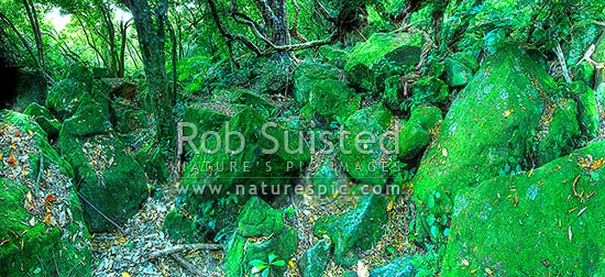 Native forest interior. Coastal Broadleaf and rocks. Panorama, Hahei, Coromandel Peninsula, Thames-Coromandel District, Waikato Region, New Zealand (NZ) stock photo.