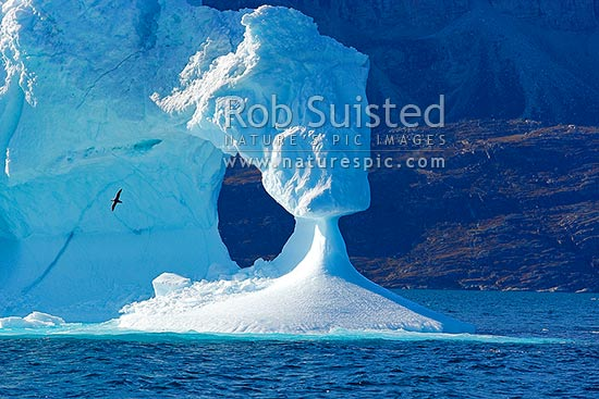 Iceberg cave and pillar on eroded iceberg, with nothern Fulmar bird flying past, Uummannaq, Greenland stock photo.