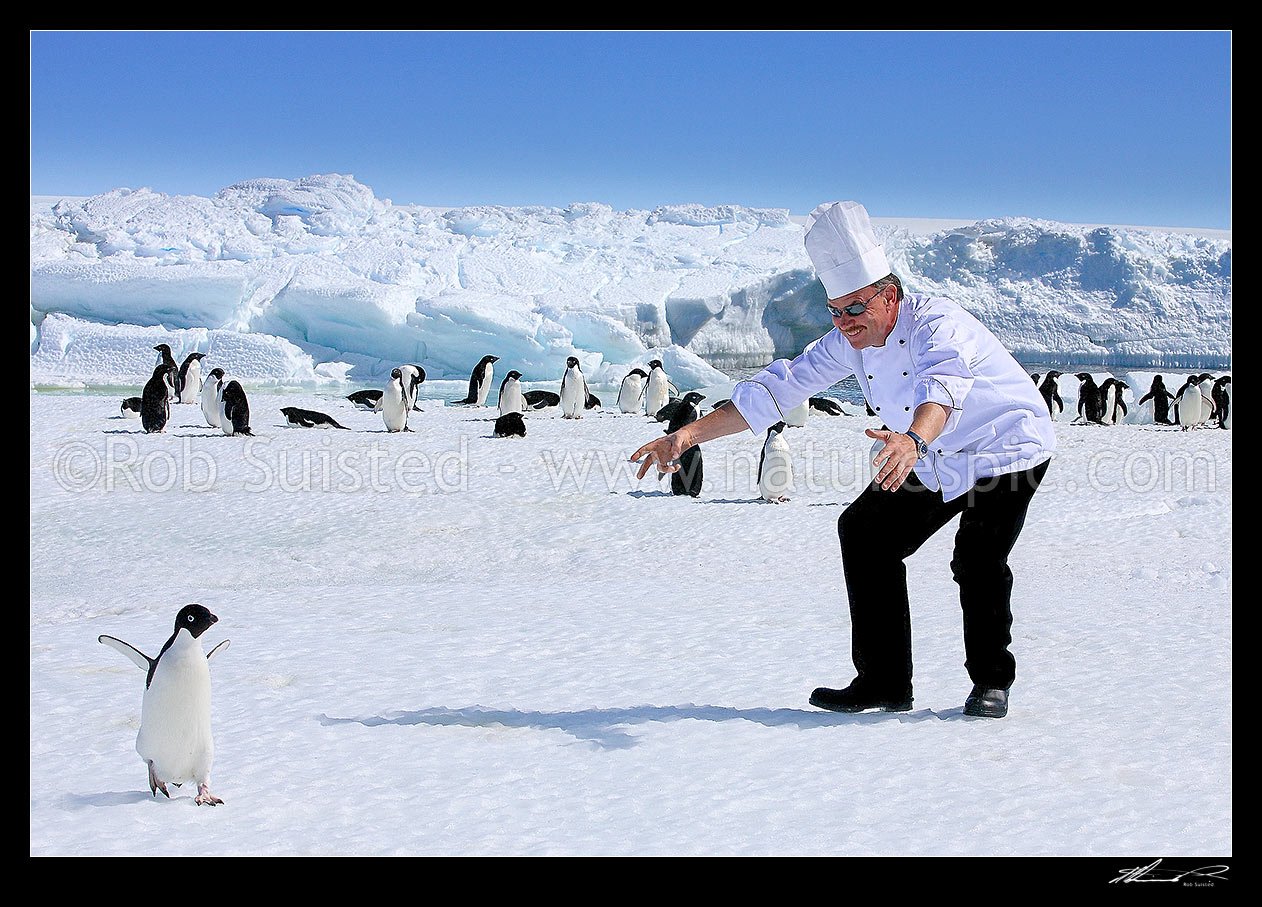 Image of Chef interested in penguins! Antarctic humour. What to do when your fois gras runs low…Adelie penguins (Pygoscelis adeliae), Cape Dennison, Antarctica Region, Antarctica stock photo image