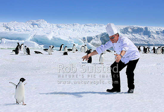 Chef interested in penguins! Antarctic humour. What to do when your fois gras runs low…Adelie penguins (Pygoscelis adeliae), Cape Dennison, Antarctica Region, Antarctica stock photo.