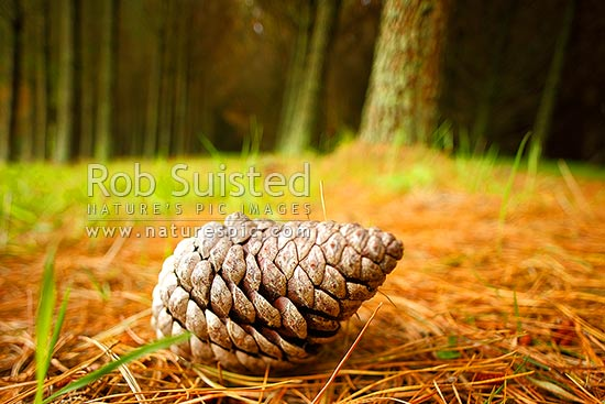 Pine tree plantation timber production forest (Pinus radiata), with pine cone amongst pine needles on forest floor, Taupo District, Waikato Region, New Zealand (NZ) stock photo.