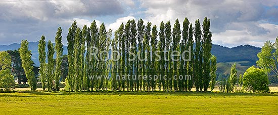 Row of poplar trees planted as a windbreak on rural farmland. Panorama, Coromandel, Thames-Coromandel District, Waikato Region, New Zealand (NZ) stock photo.