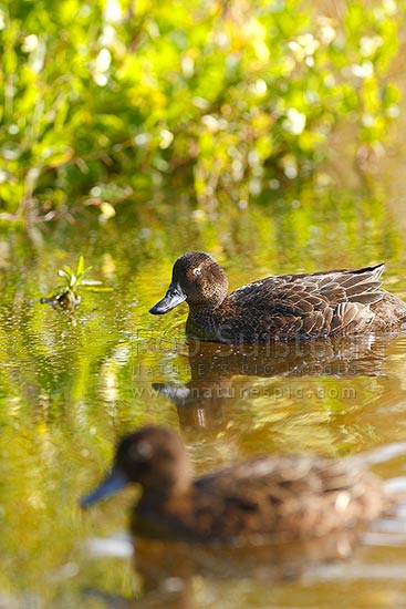 Brown teal or Pateke, endangered NZ endemic waterfowl, (Anas chlorotis), New Zealand (NZ) stock photo.