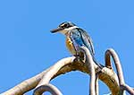 NZ Kingfisher