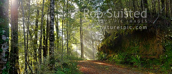 Moody forest road on a misty winter morning with sun rays streaming into beech forest (Nothofagus sp.). Panorama, Buller, Buller District, West Coast Region, New Zealand (NZ) stock photo.