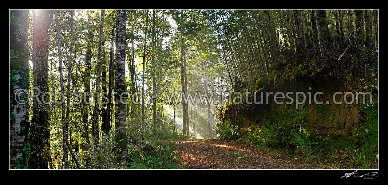 Image of Moody forest road on a misty winter morning with sun rays streaming into beech forest (Nothofagus sp.). Panorama, Buller, Buller District, West Coast Region, New Zealand (NZ) stock photo image