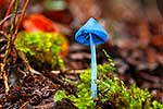 NZ native blue mushroom