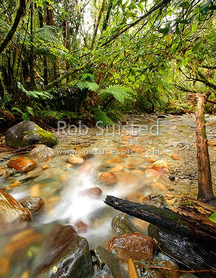 Crystal clear forest river running through lush rainforest, tree ferns and supplejack. Sqaure format, Ross, Westland District, West Coast Region, New Zealand (NZ) stock photo.