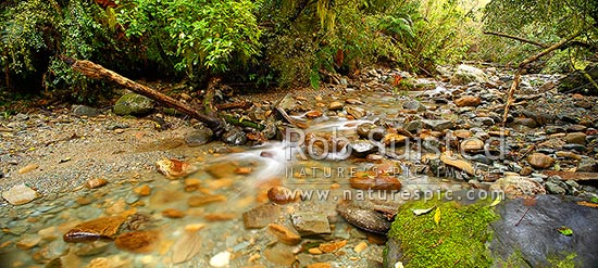 Crystal clear forest river running through lush rainforest, tree ferns and supplejack. Panorama format, Ross, Westland District, West Coast Region, New Zealand (NZ) stock photo.