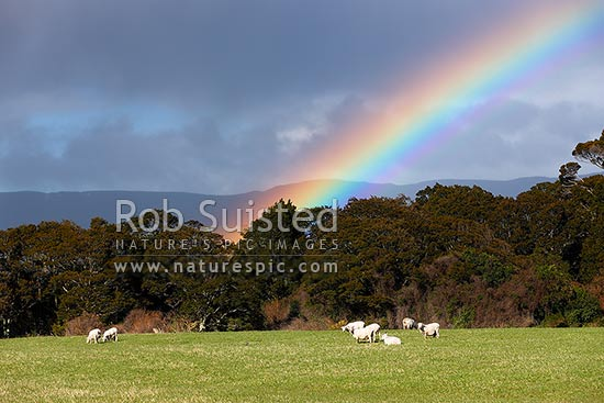 Sheep grazing on farmland pasture with large rainbow behind, Tuatapere, Southland District, Southland Region, New Zealand (NZ) stock photo.