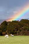 Sheep and rainbow