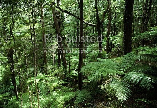 Beech forest interior (Fuscospora Nothofagus sp). Rimutaka, Remutaka Forest Park, New Zealand (NZ) stock photo.