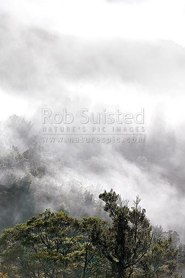 Misty Beech forest with sunlight streaming through clouds as the morning sun warms the trees (Nothofagus sp), Buller Gorge, Buller District, West Coast Region, New Zealand (NZ) stock photo.