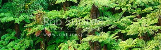 New Zealand Tree ferns growing in abundance, New Zealand (NZ) stock photo.
