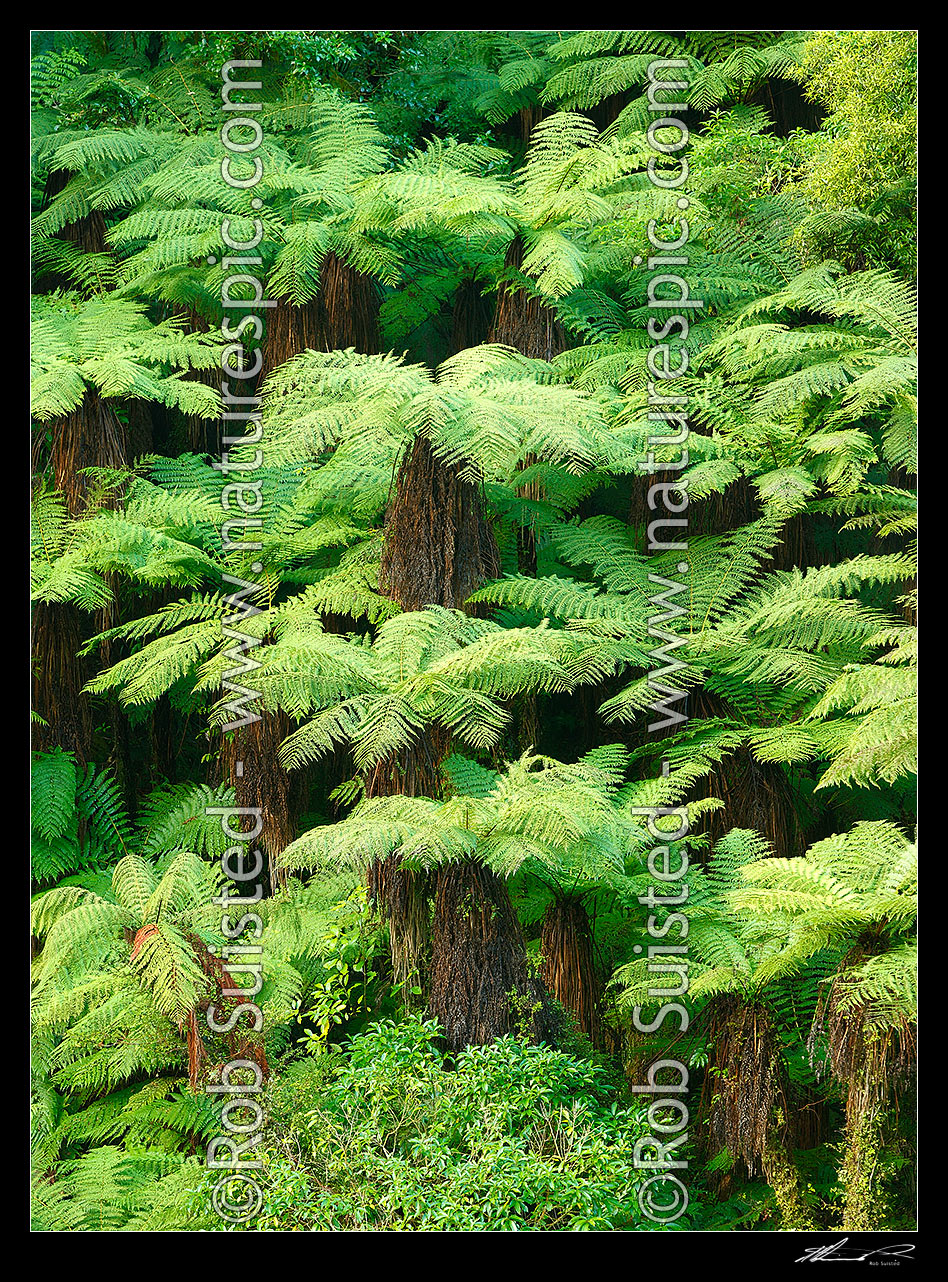 Image of New Zealand Tree ferns growing in abundance. Mostly soft tree ferns (Cyathea smithii) in a lush rainforest gully. Large panorama file suitable for murals, New Zealand (NZ) stock photo image