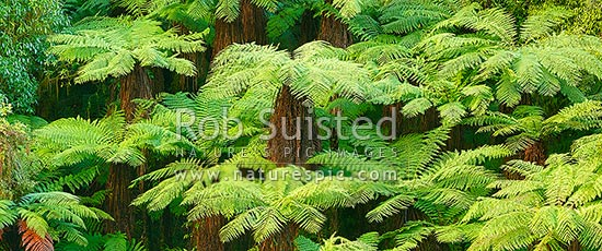 New Zealand Tree ferns growing in abundance. Mostly soft tree ferns (Cyathea smithii) in a lush rainforest gully. Very large file, New Zealand (NZ) stock photo.