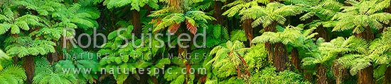 New Zealand Tree ferns growing in abundance. Mostly soft tree ferns (Cyathea smithii) in a lush rainforest gully. Very large panorama file suitable for murals, New Zealand (NZ) stock photo.