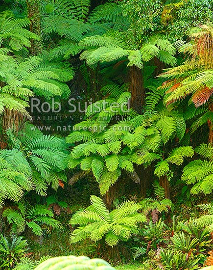 New Zealand Tree ferns growing in abundance. Mostly soft tree ferns (Cyathea smithii) in a lush rainforest gully. Katote. Large panorama file, New Zealand (NZ) stock photo.