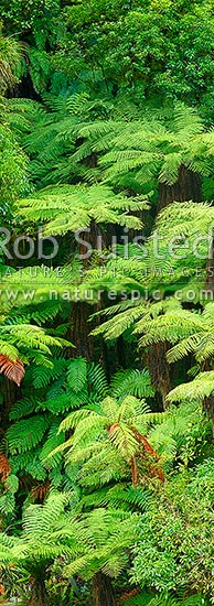 New Zealand Tree ferns growing in abundance. Mostly soft tree ferns (Cyathea smithii) in a lush rainforest gully. Very large vertical panorama file sutiable for murals, New Zealand (NZ) stock photo.
