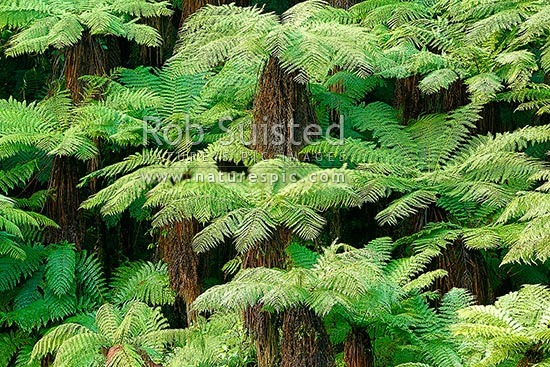 New Zealand tree ferns growing in abundance. Mostly soft tree ferns (Cyathea smithii) in a lush rainforest gully. Katote, New Zealand (NZ) stock photo.