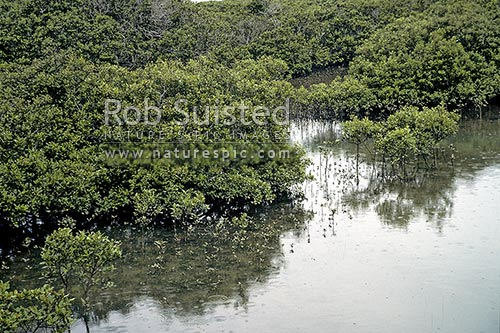 Mangroves (Avicennia marina var. australasica) in a tidal estuary, Leigh, New Zealand (NZ) stock photo.