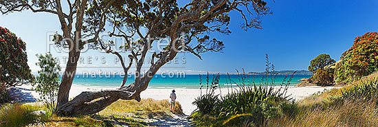 Otama Beach on the Coromandel Peninsula. Visitor standing under flowering pohutukawa trees on summers day. Great Mercury Island beyond. Large panorama, Otama Beach, Coromandel Peninsula, Thames-Coromandel District, Waikato Region, New Zealand (NZ) stock photo.