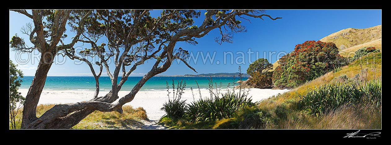 Image of Otama Beach on the Coromandel Peninsula with flowering pohutukawa trees and flax on summers day. Great Mercury Island beyond. Large panorama, Otama Beach, Coromandel Peninsula, Thames-Coromandel District, Waikato Region, New Zealand (NZ) stock photo image