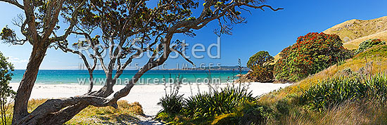 Otama Beach on the Coromandel Peninsula with flowering pohutukawa trees and flax on summers day. Great Mercury Island beyond. Large panorama, Otama Beach, Coromandel Peninsula, Thames-Coromandel District, Waikato Region, New Zealand (NZ) stock photo.