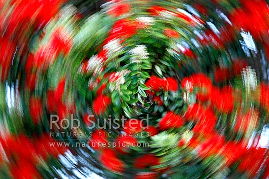 Abstract image of Pohutukawa flowers in bloom (Metrosideros excelsa). Circular movement blur, New Zealand (NZ) stock photo.