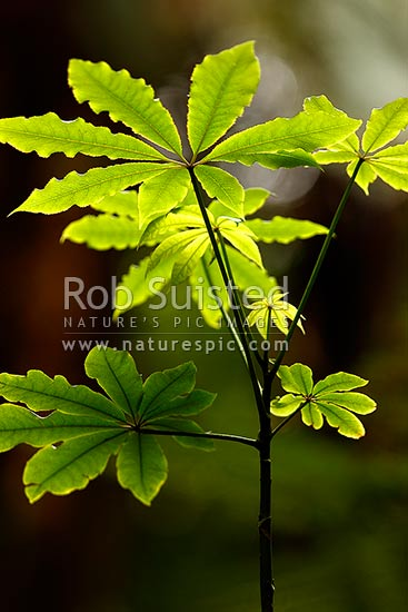 Pate (Schefflera digitata), NZ native shrub and understorey plant, lit by late afternoon sunlight inside forest, New Zealand (NZ) stock photo.