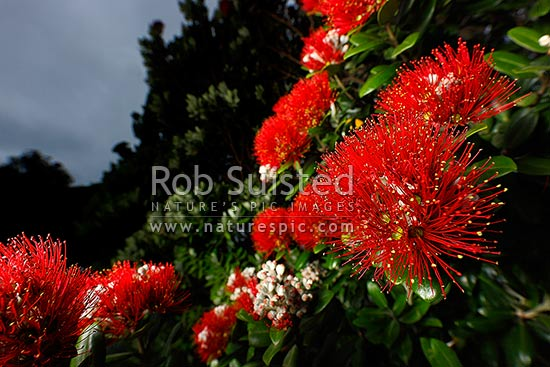 Pohutukawa flowers in bloom (Metrosideros excelsa), New Zealand (NZ) stock photo.