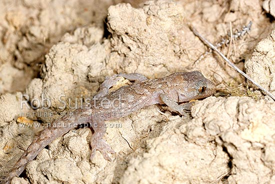 Raukawa or Common Gecko lying in wait on clay bank at night to hunt insects in moonlight (Woodworthia maculata, Syn. Hoplodactylus maculatus, Gekkonidae). Great camouflage, Mana Island, New Zealand (NZ) stock photo.